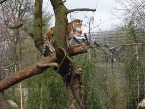 Eröffnung des Tigergeheges im Zoo Duisburg: Klettereinlage von Tiger-Dame Dasha. Foto: Petra Grünendahl.