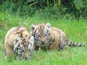 Heute durften die beiden Jungetiger erstmals die Außenanlagen des Tigergeheges im Zoo Duisburg erkunden. Foto: Petra Grünendahl.