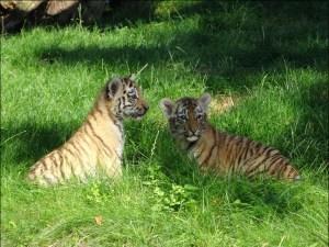 Makar (links) und Arila (rechts) heißt der Tigernachwuchs im Zoo Duisburg. Foto: Petra Grünendahl.