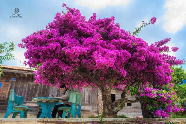 Cây hoa giấy cổ thụ Đà Lạt