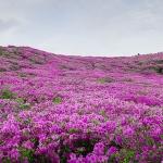 Chiêm ngưỡng sắc hoa đỗ quyên tại Sa Pa