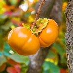 Đến Đài Loan, khám phá và trải nghiệm mùa hái quả