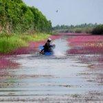 Tháng 3 về, hoa nhĩ cán đã nhuộm tím cả dòng kênh Đồng Tháp