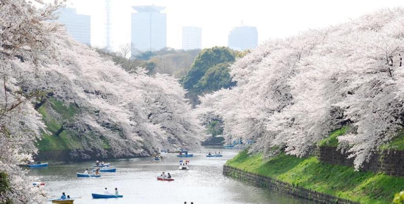 Chia sẻ kinh nghiệm ngắm hoa anh đào ở Nhật Bản từ A – Z