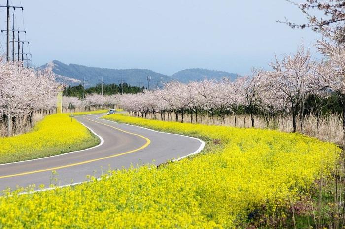 4 trải nghiệm nên thử nếu không muốn hối tiếc ở Jeju vào mùa xuân