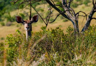 Kudu desconfiado