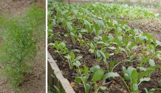 Manggo Garden Herbs