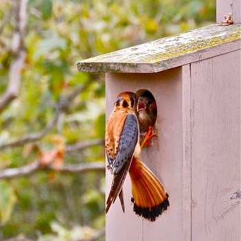 Make and American Kestrel Box with the Duluth Folk School