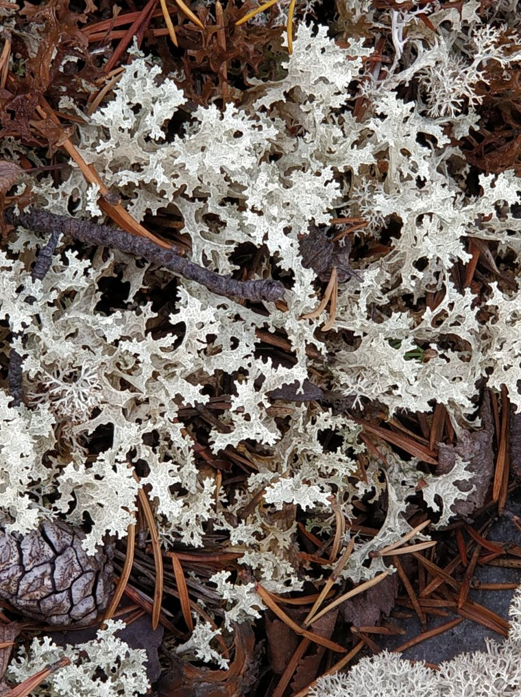 Cladia (lichen), Rondane National Park, Innlandet County, Norway. - ...behind every picture, there is a story...
