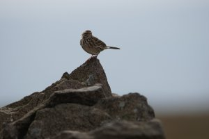 Meadow Pipit, Lothersdale, Craven, North Yorkshire, England