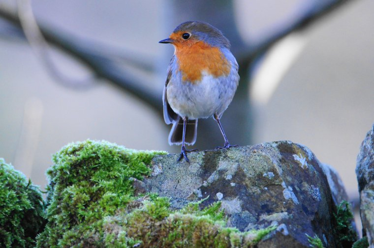Robin, Lothersdale, Craven, North Yorkshire, England - ...behind every picture, there is a story...