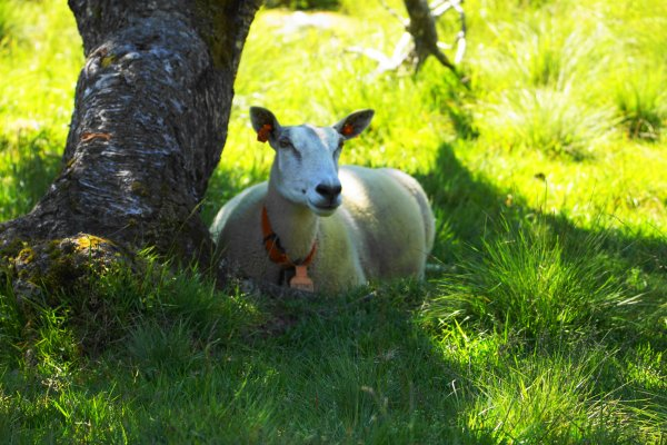 Sheep with GPS tracker attached to collar, Laugavatnet, Vestland county, Norway
