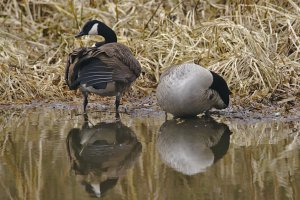 Canada Geese (Branta Canadensis) on Leeds Liverpool Canal, East Marton, Craven District, North Yorkshire, England