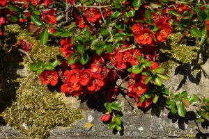 Japanese Quince (Chaenomeles japonica) - ...behind every picture, there is a story...