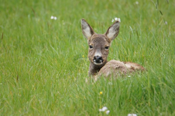 Female Roe Deer, Lothersdale, Craven, North Yorkshire, England - ...behind every picture, there is a story...