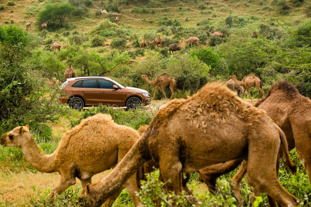 Audi Q5 surrounded by camels grazing in the hills above Salalah
