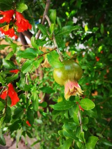 Baby pomegranate Symi