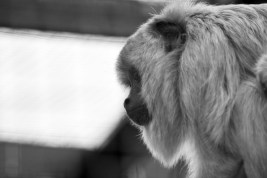 Howler monkey - Chester Zoo