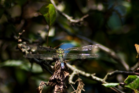 SouthernM Migrant Hawker Dragonfly - Nottingham