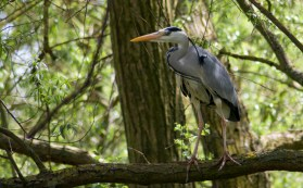 Grey Heron, Attenborough Nature reserve