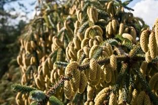 Weird pine cones