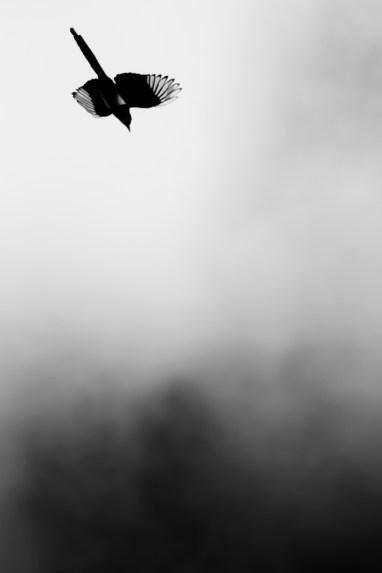 Magpie, Nottingham Arboretum