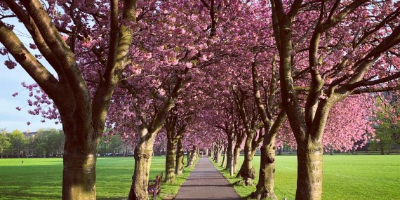 Cherry Blossom Edinburgh Spring