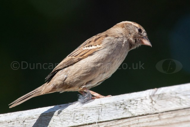 Photographing Birds Female House Sparrow