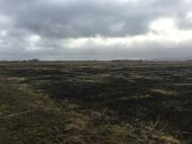Rhubarb field