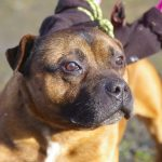 Watson - Staffie Male - RESERVED