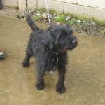 Archie - Wiry Terrier Male - RESERVED