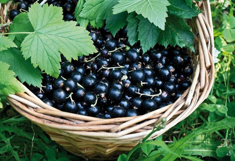 черная смородина для вина