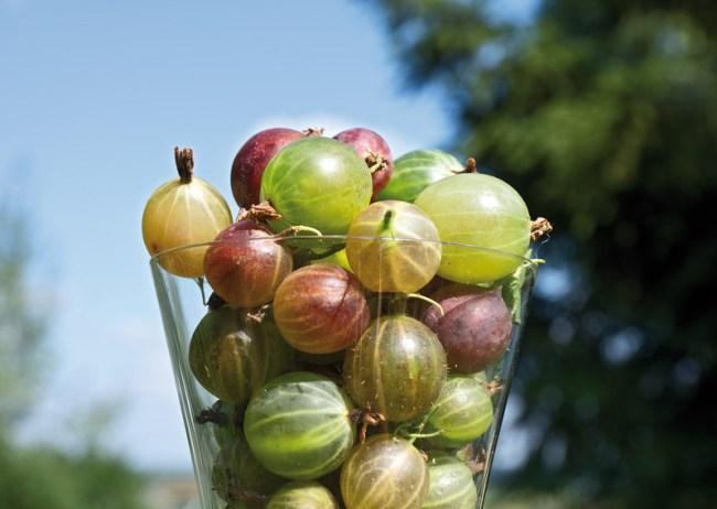 подготовка ягод и плодов для домашнего виноделия