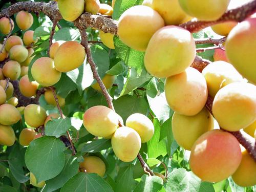 абрикосы у дороги