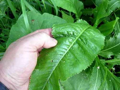 подготовка листьев хрена