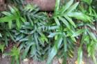 Hounds tongue/kowaowao (Phymatosorus diversifolius)