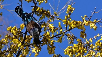 A tui in a Kowhai, both native to NZ