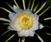 The flower of a dragon fruit