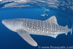 Person swimming with whaleshark in Raja Ampat in Indonesia