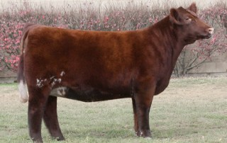 Mirage - Shorthorn Donor