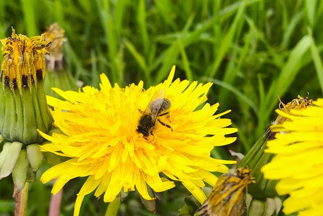 Dunkle Biene auf Löwenzahnblüte