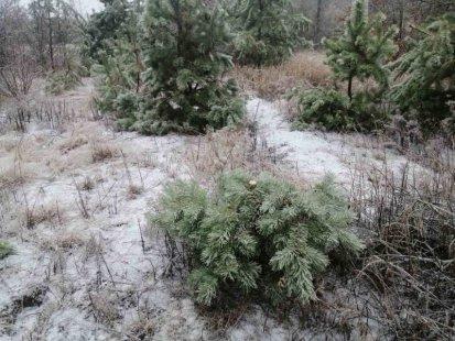 Экоинспекция подвела итоги природоохранной операции «Новогодняя елка» на Сумщине   Новости Сум