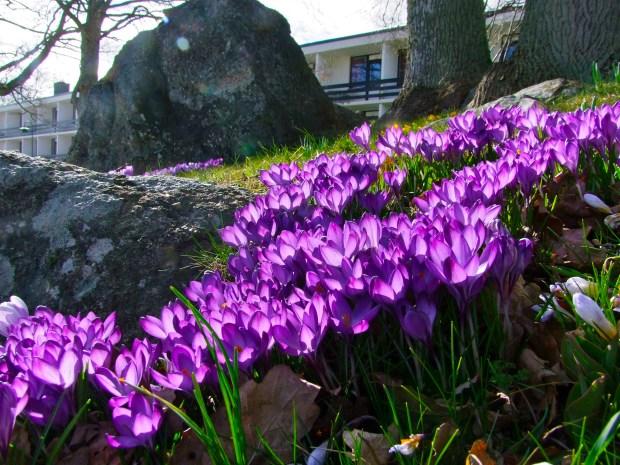 krokusy-wiosna-w-szwecji-Ronneby-Brunnenpark-park-blekinge-najpiekniejsze-szwedzkie-ogrody