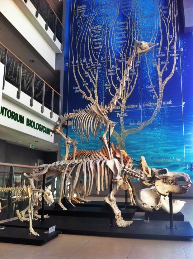uniwersytet-gdanski-wydzial-biologii-szkielet-hipototama-nosorozca-zyrafy-atrakcja-turystyczna