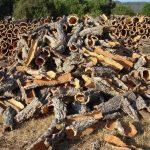 Les écorces de chêne vert : le liège