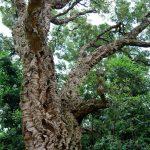 Un chêne liège