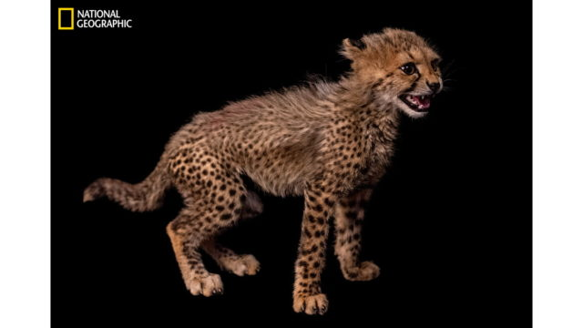 national geographic social campaign takes aim at cheetah cub trafficking - National Geographic Social Campaign Takes Aim at Cheetah Cub Trafficking