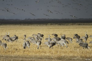 Great Sand Hill Cranes - Alex Pullen
