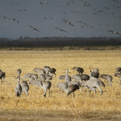The Great Sand Hill Cranes