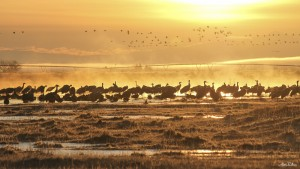 Great Sand Hill Cranes - San Luis Valley, CO  - Alex Pullen